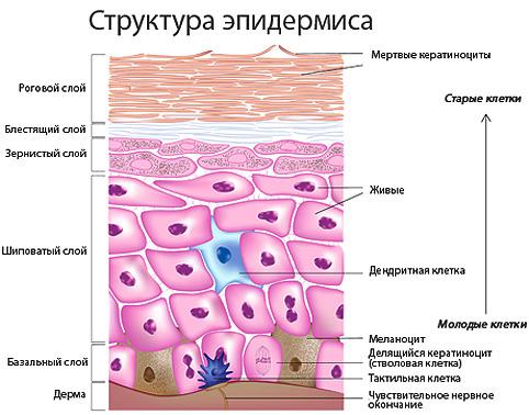 структура эпидермиса кожи